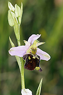 LATE SPIDER-ORCHID Ophrys fuciflora (Height to 50cm) is superficially similar to both Bee Orchid and Early Spider-orchid. It differs from the former in its broader, less rounded lip, the tip of which has a green, upturned appendage; from the latter it is told by its pink, not green, outer perianth segments. It is restricted to chalk downs in Kent.