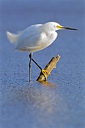 Snowy Egret, Mrazek Pond