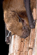 Portrait of a big brown bat (Eptesicus fuscus) in the Rogue River National Forest, Oregon.