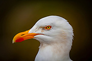Close up of Herring Gull,  Larus argentatus or Goéland argenté in Brittany, France.