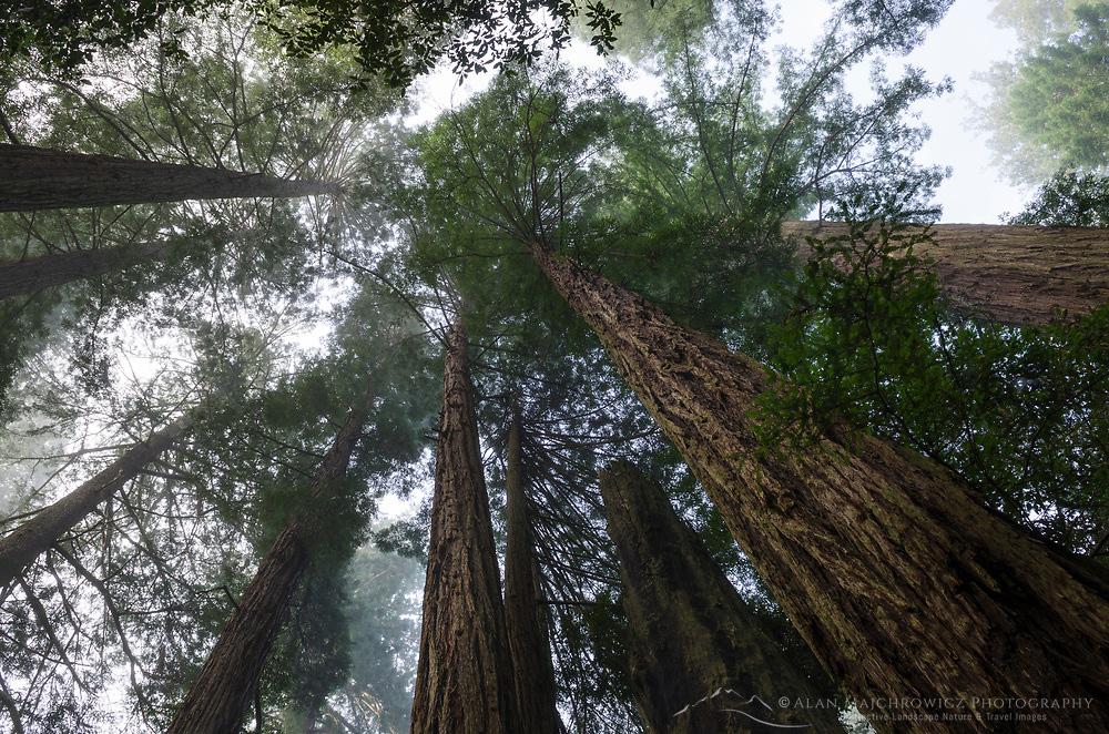 Coastal Redwoods (Sequoia sempervirens) forest, Lady Bird Johnson Grove, Redwoods National Park, California
