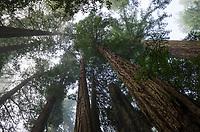 Coastal Redwoods (Sequoia sempervirens) forest, Lady Bird Johnson Grove, Redwoods National Park, California