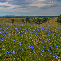 Western Blue Flax flowers bloom on a hillside in the Upper Missouri River Breaks in central Montana.