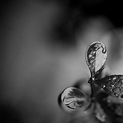 A black and white photograph showing natural rain droplets forming on a plant. <br /> <br /> This image received recognition as a Nominee in the prestigious 9th Annual Black and White Spider Awards for the Professional category of Still Life. <br /> http://bit.ly/1t9m0bm<br /> <br /> More Black and White Photography from my website<br /> http://bit.ly/1AyCuPh <br /> <br /> Photo: © Rod Mountain<br /> <br /> http://www.rodmountain.com