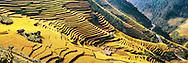 terraced rice field in harvesting season-north vietnam