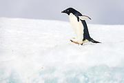 Adelie penguine (Pygoscelis antarctica) on the ice shelf at Kinnes Cove, Paulet Island, Antartica.