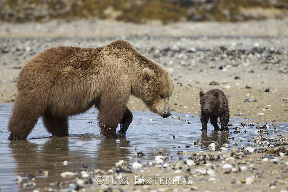 Brown Bear<br /> Ursus arctos <br /> Mother and 3-4 month old cub on beach<br /> Katmai National Park, AK