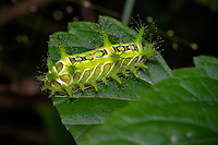 Moth caterpillar, green, sitting on a leaf,  tubercles with urticating hairs and bright warning colours indicates that sting can be quite potent, causing severe pain, Wuliangshan Nature Reserve, in Jingdong county, Yunnan Province, China.