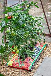 Tomatoes growing in growbags in a greenhouse