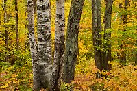 Intimate forest scene during autumn, Owl's Head Mtn, Groton State Forest, Vermont