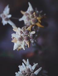 THEMENBILD - Das Alpen-Edelweiß (Leontopodium nivale) ist eine der bekanntesten und symbolträchtigsten Alpenblumen, aufgenommen am 10. August 2018, Kaprun, Österreich // The alpine edelweiss (Leontopodium nivale) is one of the most famous and symbolic alpine flowers on 2018/08/10, Kaprun, Austria. EXPA Pictures © 2018, PhotoCredit: EXPA/ Stefanie Oberhauser