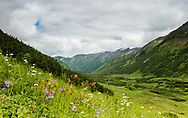 Field of wildflowers overlooking Palmer Creek Valley in Southcentral Alaska. Summer. Afternoon.