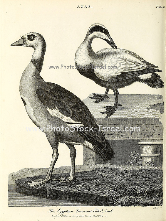 Egyptian Goose [Alopochen aegyptiaca] (Left) and Eider Duck [common eider (Somateria mollissima), also called St. Cuthbert's duck or Cuddy's duck], Copperplate engraving From the Encyclopaedia Londinensis or, Universal dictionary of arts, sciences, and literature; Volume I;  Edited by Wilkes, John. Published in London in 1810