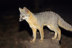 Gray Fox At Night
