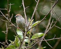 Chipping Sparrow. Late-spring backyard nature in New Jersey. Image taken with a Nikon D2xs camera and 70-200 mm f/2.8 lens + 1.4 TC-E II teleconverter and SB-800 flash (ISO 100, 280 mm, f/4, 1/100 sec)