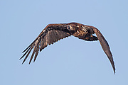 Stock photo of flying bald eagle captured in Colorado.  The bald eagle is an oppurtunistic feeder.  90 percent of it's diet is fish,  birds and small mammals.  They will also take fish from osprey as well.