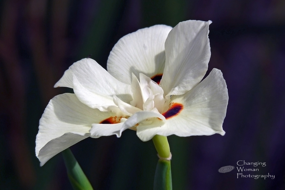 The fragile beauty of a fresh butterfly iris bloom features creamy white petals or tepals adorned with bright orange and deep purple spots near the flower's center. The white flower stands out crisply against the image's deep, midnight-blue background.