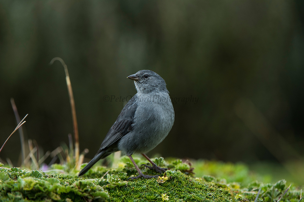 Plumbeous Sierra-finch (Phrygilus unicolor) male<br /> Antisana Ecological Reserve<br /> Cordillera Real, Andes<br /> ECUADOR, South America
