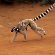 Ring-tailed Lemur, (Lemur catta) ENDANGERED SPECIES. Adult with young running. Madagascar.