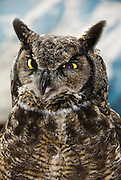 A injured Great Horned Owl sits and eyes the crowd at the American Bald Eagle Foundation restoration center in Haines, Alaska.