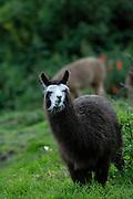Ecuador, May 26 2010: A llama at Hacienda San Agustin del Callo. Copyright 2010 Peter Horrell