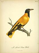Loriot rieur, Male from the Book Histoire naturelle des oiseaux d'Afrique [Natural History of birds of Africa] Volume 6, by Le Vaillant, Francois, 1753-1824; Publish in Paris by Chez J.J. Fuchs, libraire 1808