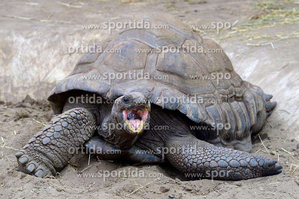 THEMENBILD - Aldabra-Riesenschildkroeten (Aldabrachelys gigantea), endemisch, Insel Curieuse, Seychellen, Afrika // Aldabrachelys giant tortoises (Aldabrachelys gigantea), endemic, island Curieuse, Seychelles, Africa. EXPA Pictures © 2017, PhotoCredit: EXPA/ Eibner-Pressefoto/ Schulz<br /> <br /> *****ATTENTION - OUT of GER*****
