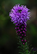 Telluride, Colorado Wild and Garden Flowers