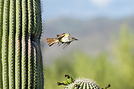 A Brown-crested Flycatcher (Myiarchus tyrannulus) explodes in flight out of a nest in a Saguaro cactus (Arizona)