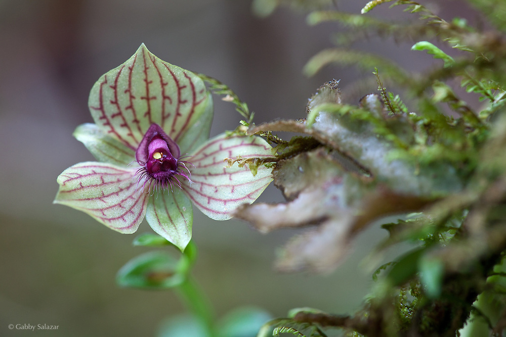 Orchid (Telipogon sp). Wayqecha Biological Reserve on the Eastern slopes of the Peruvian Andes. Cloud forest at 2950 meters elevation. The reserve is managed by the Amazon Conservation Association and the Asociación para la Conservación de la Cuenca Amazónica.
