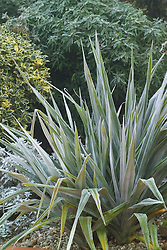 Astelia chathamica 'Silver Spear' in winter - syn. A. nervosa var chathamica