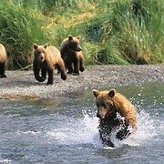 Alaskan Brown Bear (Ursus middendorffi) mother working at feeding her cubs at a river in coastal Alaska.