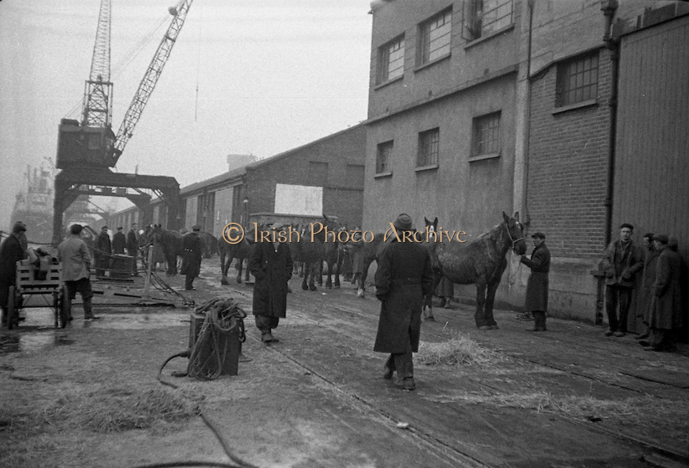 """16/01/1960<br /> 01/16/1960<br /> 16 January 1960<br /> Horses for slaughter being loaded for export to the Netherlands from Dublin. Horses waiting to be loaded onto the Dutch ship """"Theano""""."""