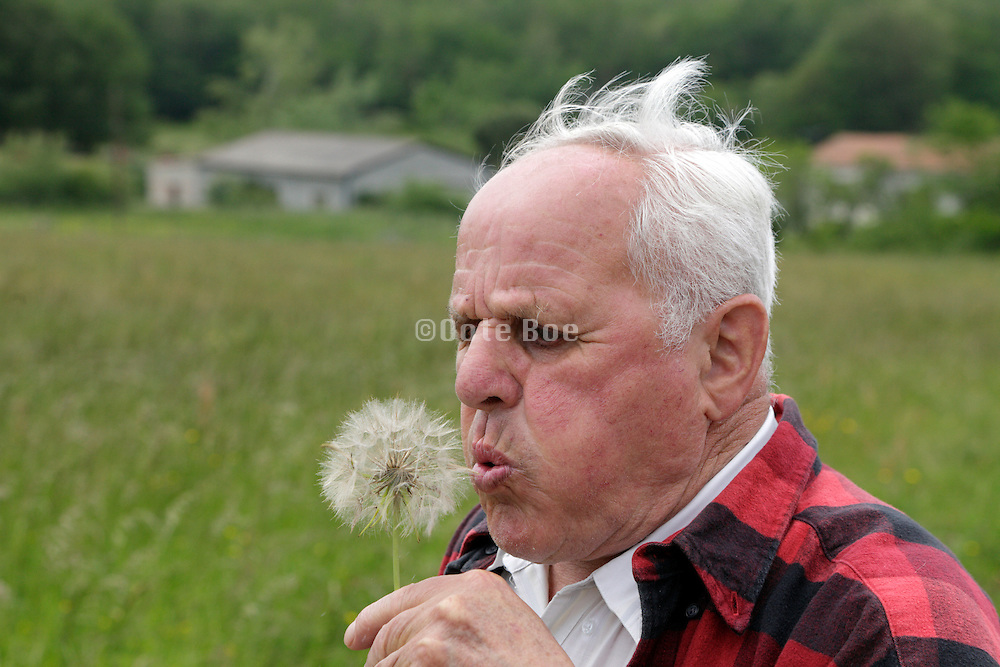 senior man trying to blow of the seeds of a dandelion