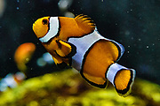 Clownfish (Amphiprion ocellaris). Oregon Coast Aquarium, Newport, Oregon, USA.