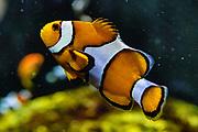 Clownfish (Amphiprion ocellaris). Oregon Coast Aquarium, Newport, Oregon, USA.