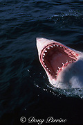 great white shark, Carcharodon carcharias, gaping at surface, off Gansbaai, South Africa ( Indian Ocean )