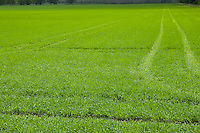new crop growth in fields with tractor tracks