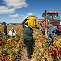 Farmworkers, picking read Chile in a field off of Doña Ana Rd, Monday November 12, 2018, As temperatures plunge over night and a  a freeze warning in affect, no work would be done in that filed due to the cold temperatures, Tuesday.