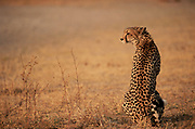 Cheetah on lookout, Okavango Delta, Botswana