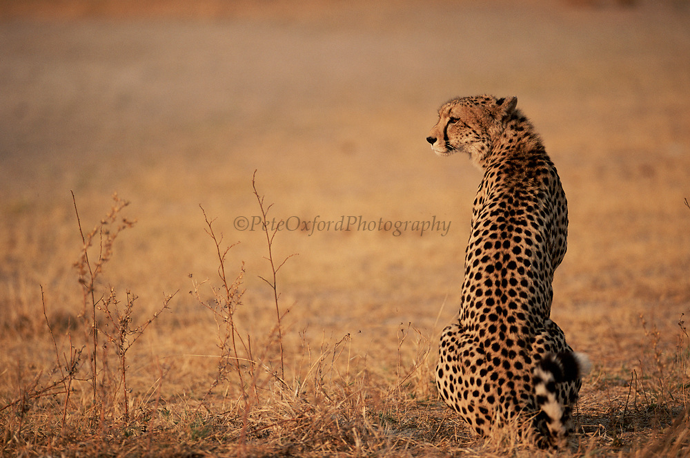 Cheetah on lookout, Okavango Delta, Botswana