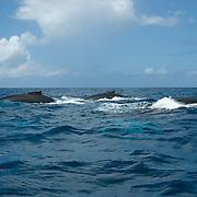 Humpback Whale (Megaptera novaeangliae) males in a rowdy group. Caribbean Ocean.