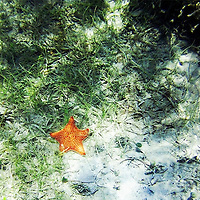 Star fish in Chenay Bay at St. Croix USVI Please select Shopping Cart Below to Purchase prints and gallery-wrapped canvases, magnets, t-shirts and other accessories