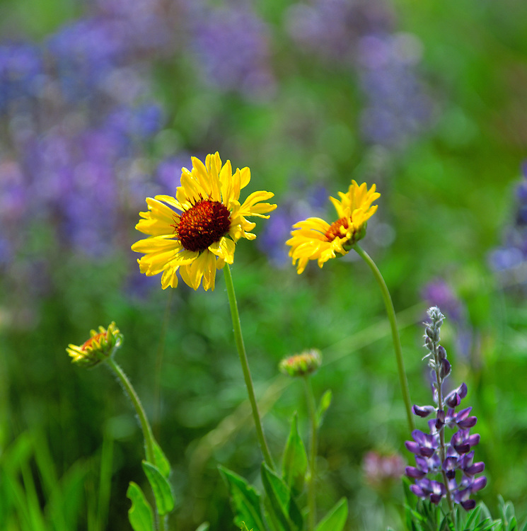 Black-eyed Susans and lupine fill a meadow in Glacier National Park, Montana