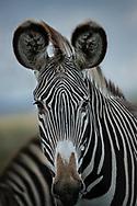 Dreamy Grevy's Zebra in Lewa Kenya.