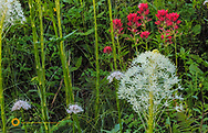 Beargrass and indian painbtrush bloom on Big Mountain in Whitefish, Montana, USA