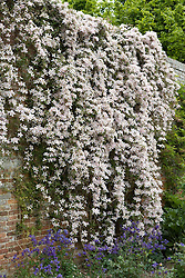 Clematis montana var. rubens 'Tetrarose'  trained on a brick wall at Sissinghurst Castle Garden