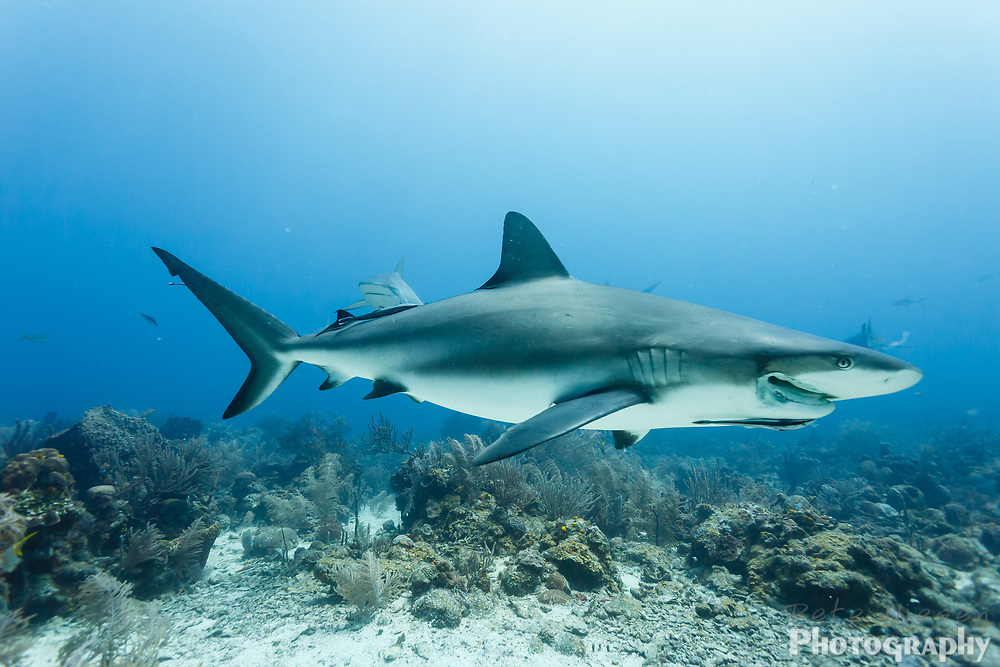 Close up of gray reef shark, Carcharhinus amblyrhynchos, with injured jaw swiming over reef