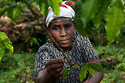 A worker is picking fresh coffee beans in the Nova Moca plantation of Claudio Corallo, on the island of Sao Tome, Sao Tome and Principe, (STP) a former Portuguese colony in the Gulf of Guinea, West Africa.