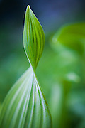 Close up of a corn lily (Veratrum sp.) on the Hidden Lake Trail, Mount Baker-Snoqualmie National Forest, Washington.